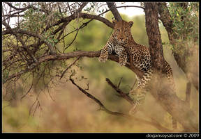 LEOPARD ON A TREE... by dogansoysal