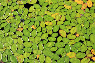 Lily Pads (and maybe some Ponies?)
