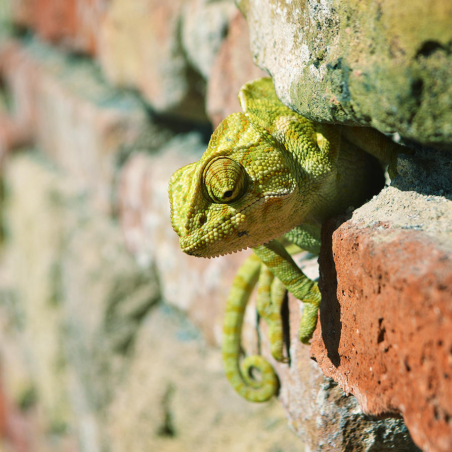 Cameleon by anyffe