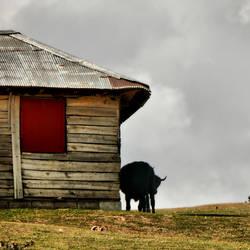 a cow in a dream by farhadb