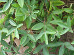 Passionflower Leaves
