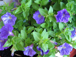 Petunias - Stock by FairyAndTurtleStock