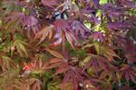 Japanese Maple Leaves-Texture