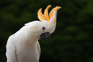 Citron-crested cockatoo by alantunnicliffe