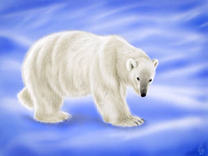 Ursus Maritimus (Polar Bear)