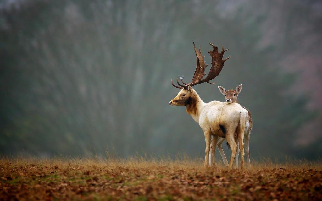 Deer Animals Nature Hd Wallpaper By SHUBH ARTS