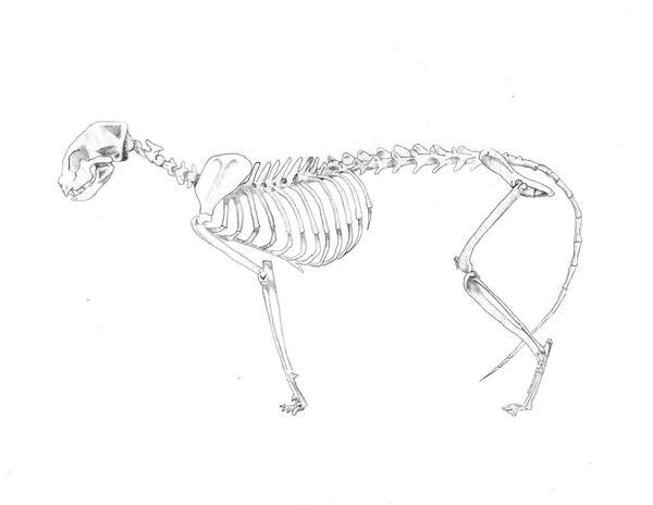 Cat Skeleton Study by Nefepants