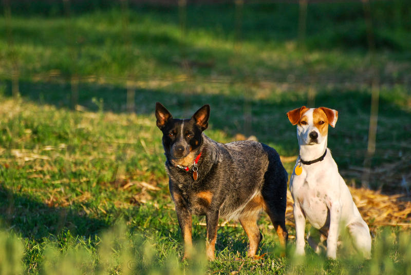 untitled farm dogs by jetsetaphrodite