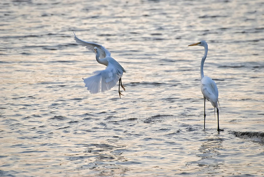 two egrets one landing by jetsetaphrodite