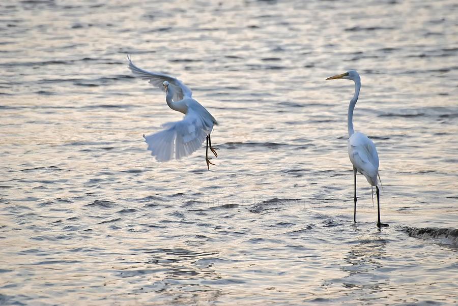 two egrets one landing by jetsetaphrodite