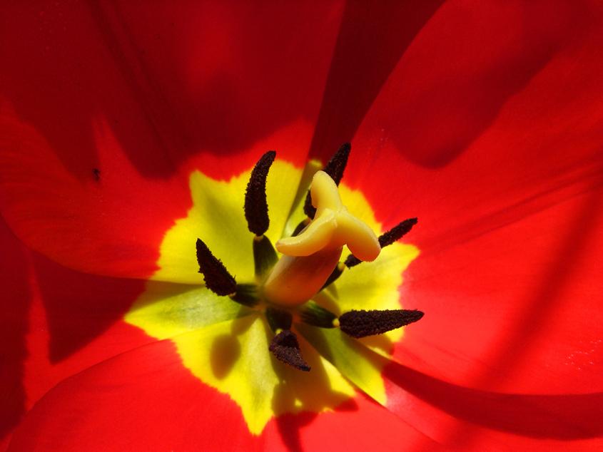 Inside A Tulip by lapis-lazuri