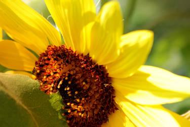 Sunflower by lapis-lazuri