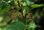 Ribes nigrum 2