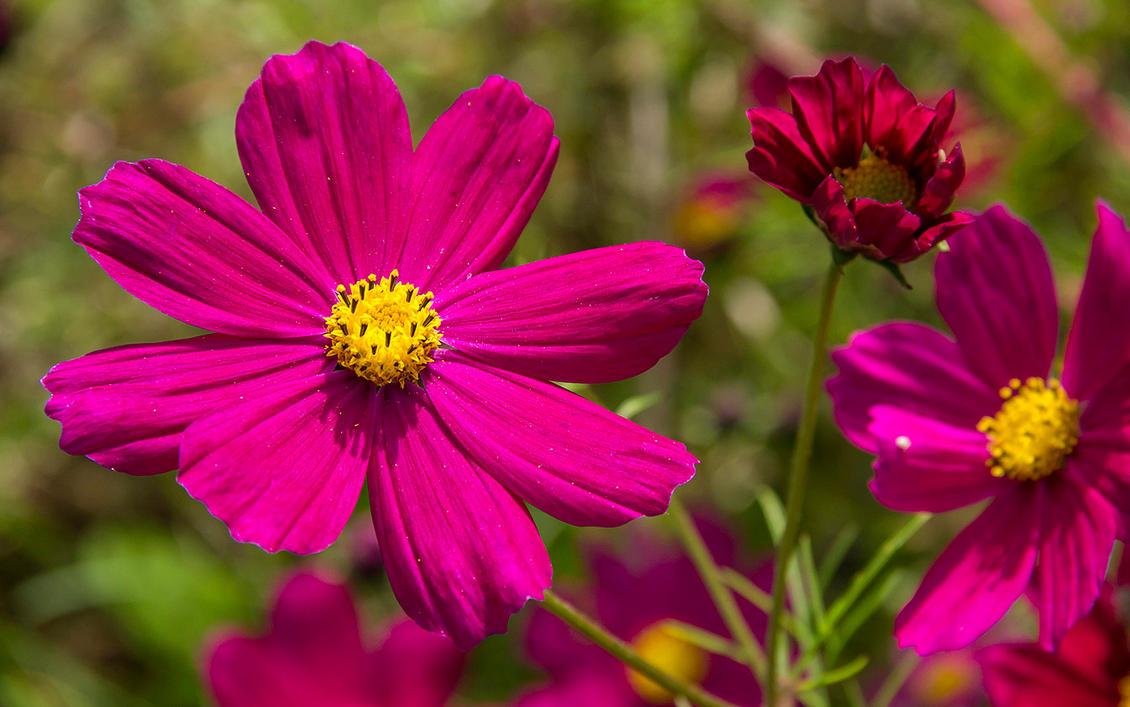 Pink Autumn Flowers 2 By Lapis Lazuri On Deviantart