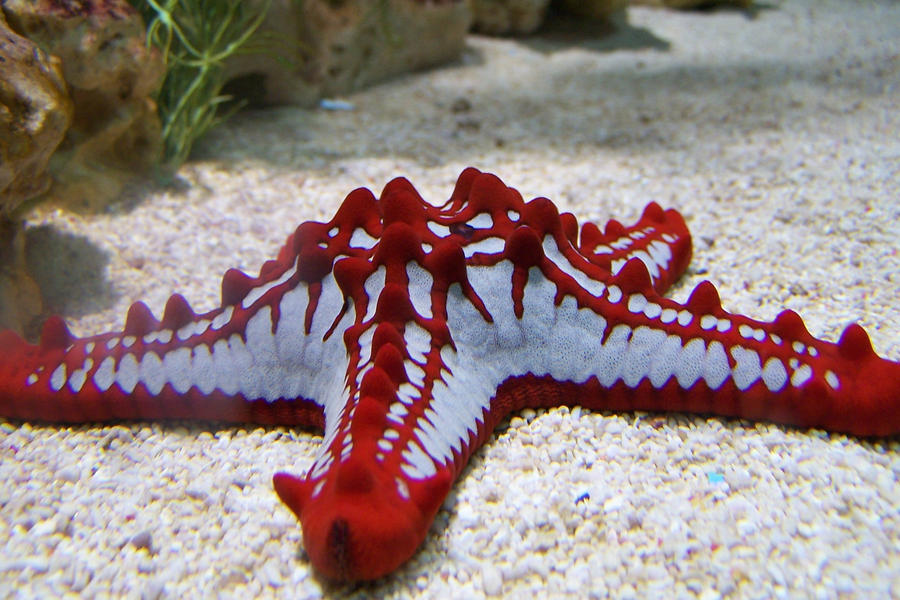 Red and white starfish by Brianetta