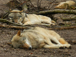 European Graywolves by AdnaeInviere
