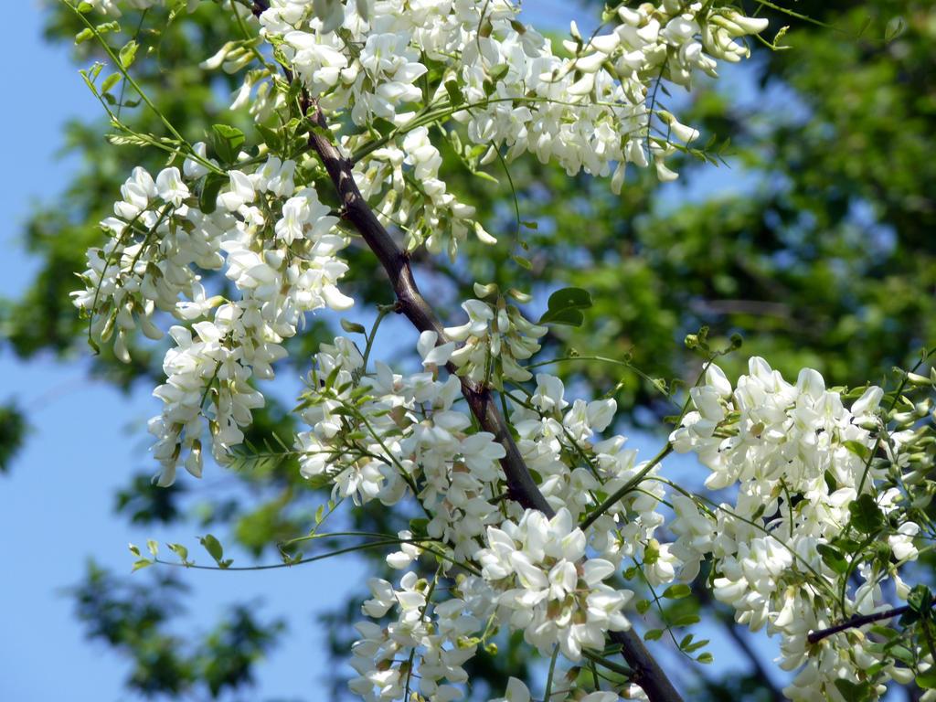 Acacia in bloom by JohnShyGuy on DeviantArt