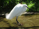 Little Egret (Aigrette Garzette)
