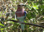 Lilac-Breasted Roller (Rollier a Longs Brins)