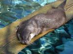 Eurasian Otter (Loutre d'Europe)