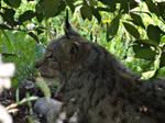 Northern Eurasian Lynx (Lynx Boreal d'Europe)