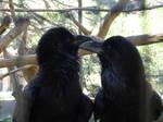 Common Raven (Grand Corbeau)