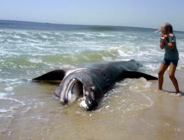 Long Island Sharks