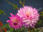 Subdued Dahlias by AuthorSanThora