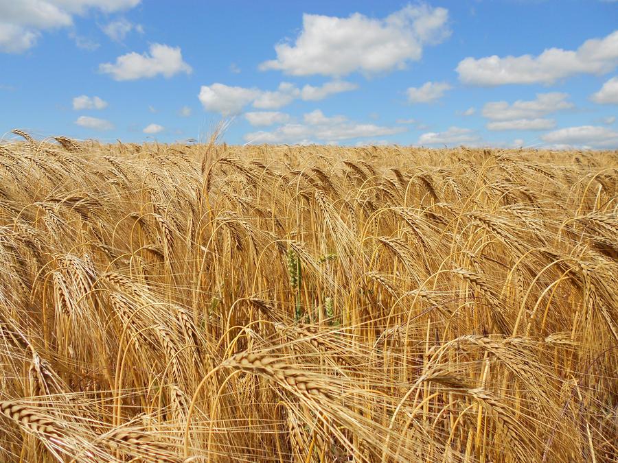 Field Of Corn by Billiam268