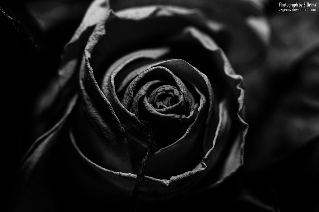 The Dead Rose by Z-GrimV