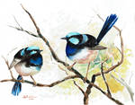 Two Fairy Wrens