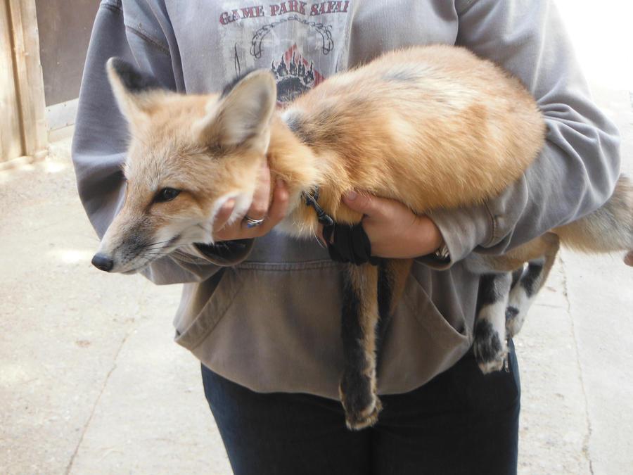 Fox by iliowahine