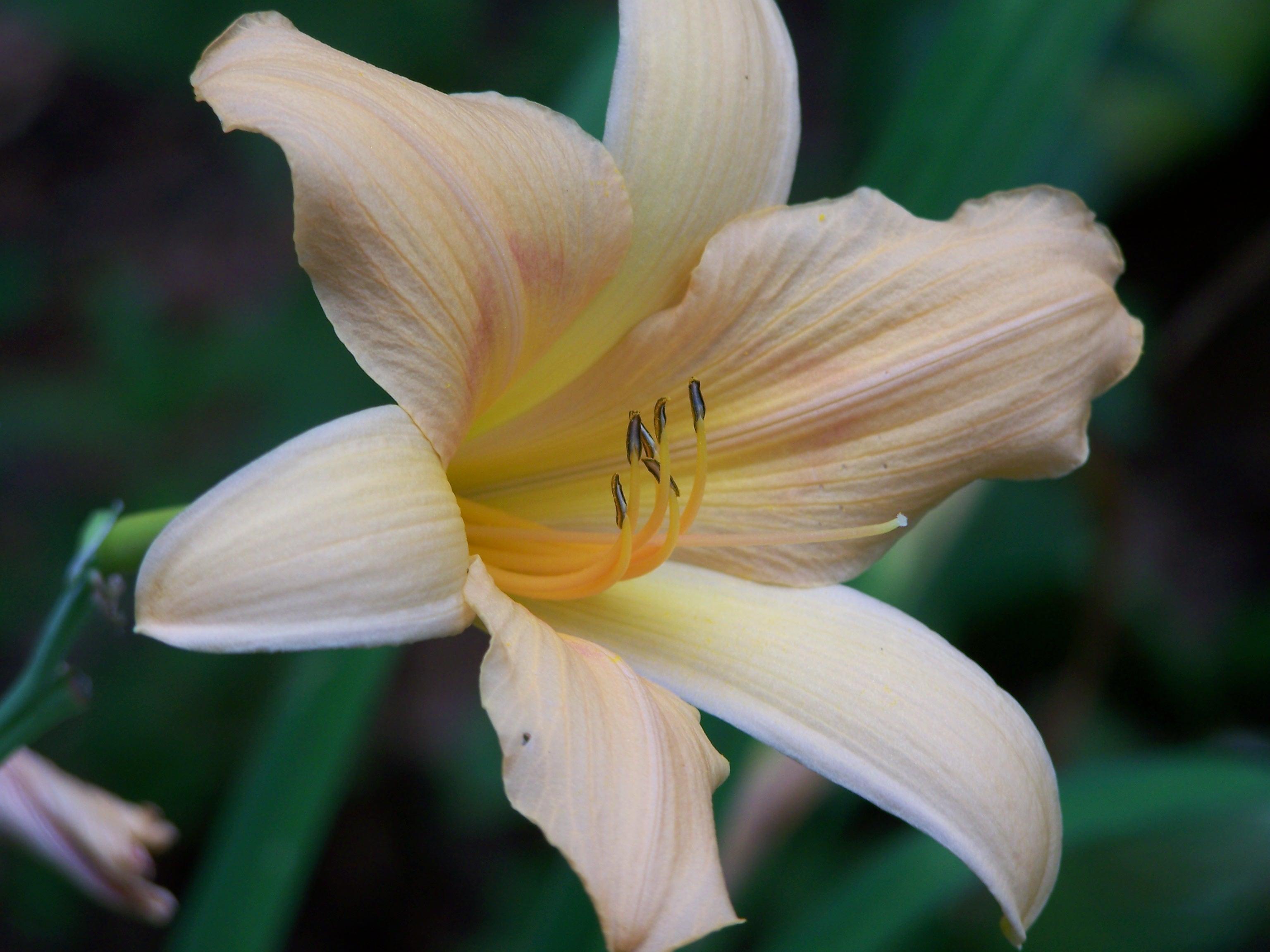 Yellow Lily by seiyastock