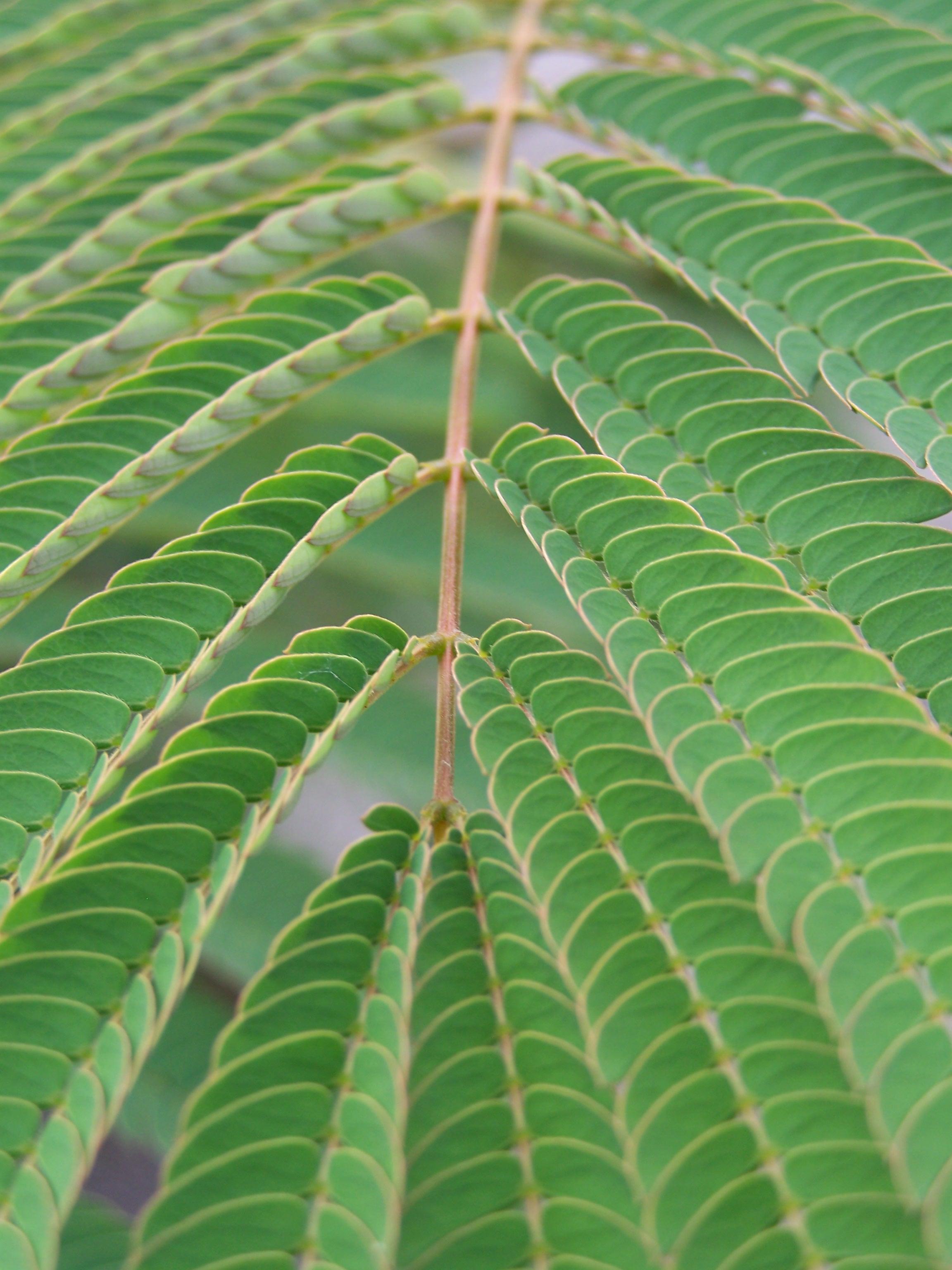 Mimosa Leaf by seiyastock