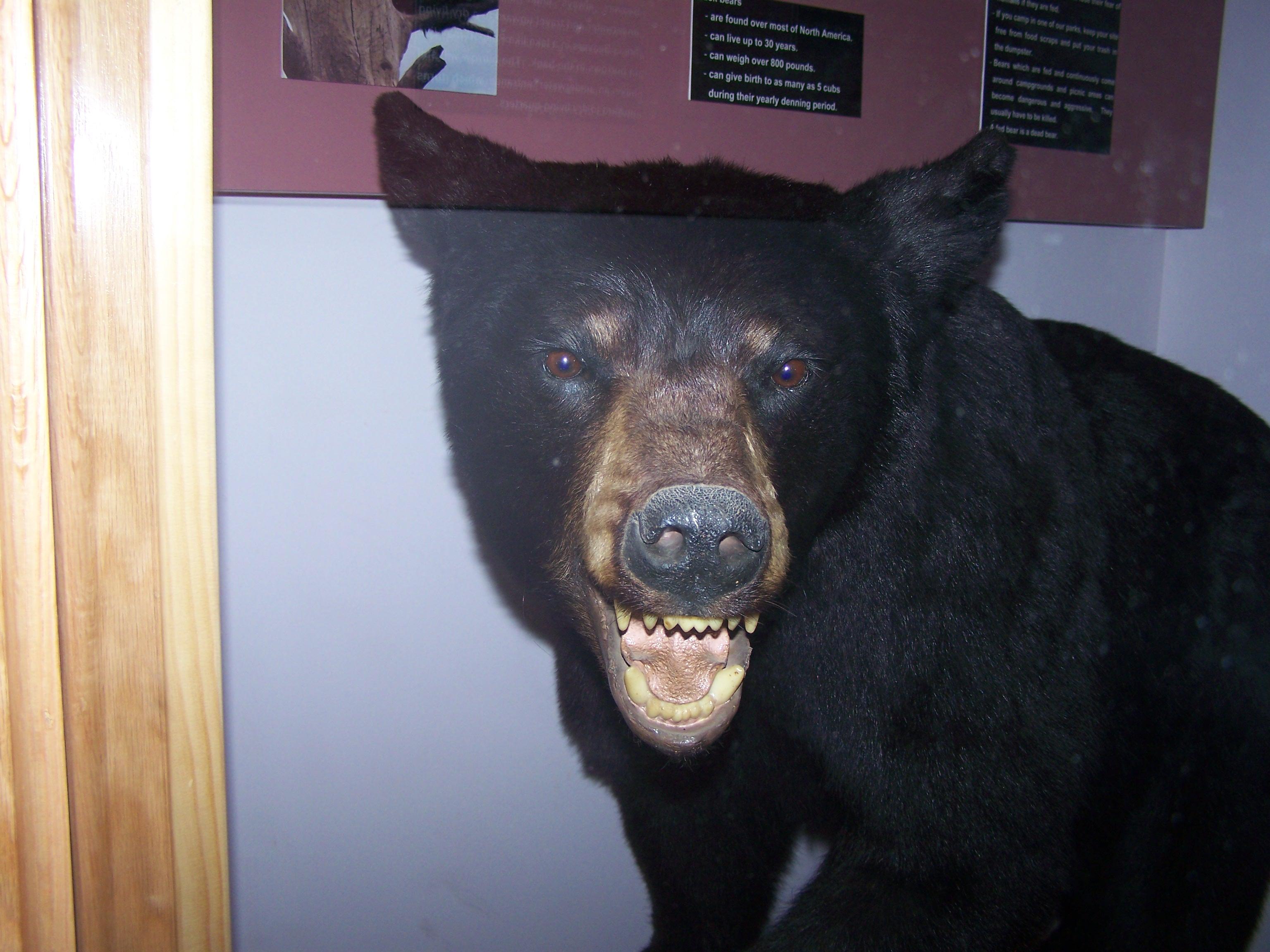 Wild Bear by seiyastock