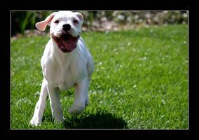 Boxer Pup by minimeg