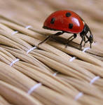 ladybird by PPepe