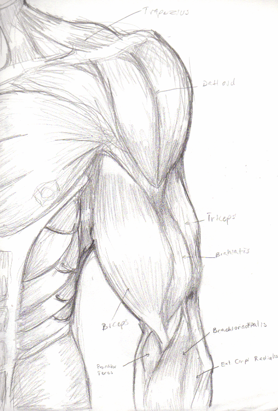 Left Arm Muscles Anatomy By Tedmo On Deviantart
