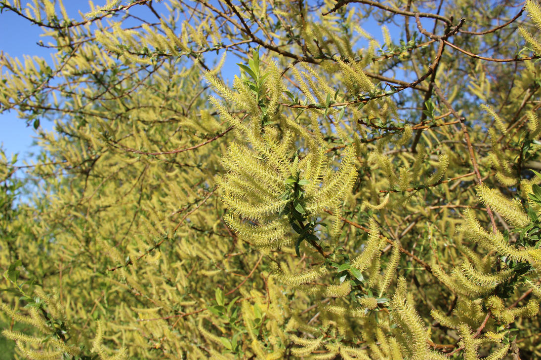 Willow Flowers by DinosaurianDude
