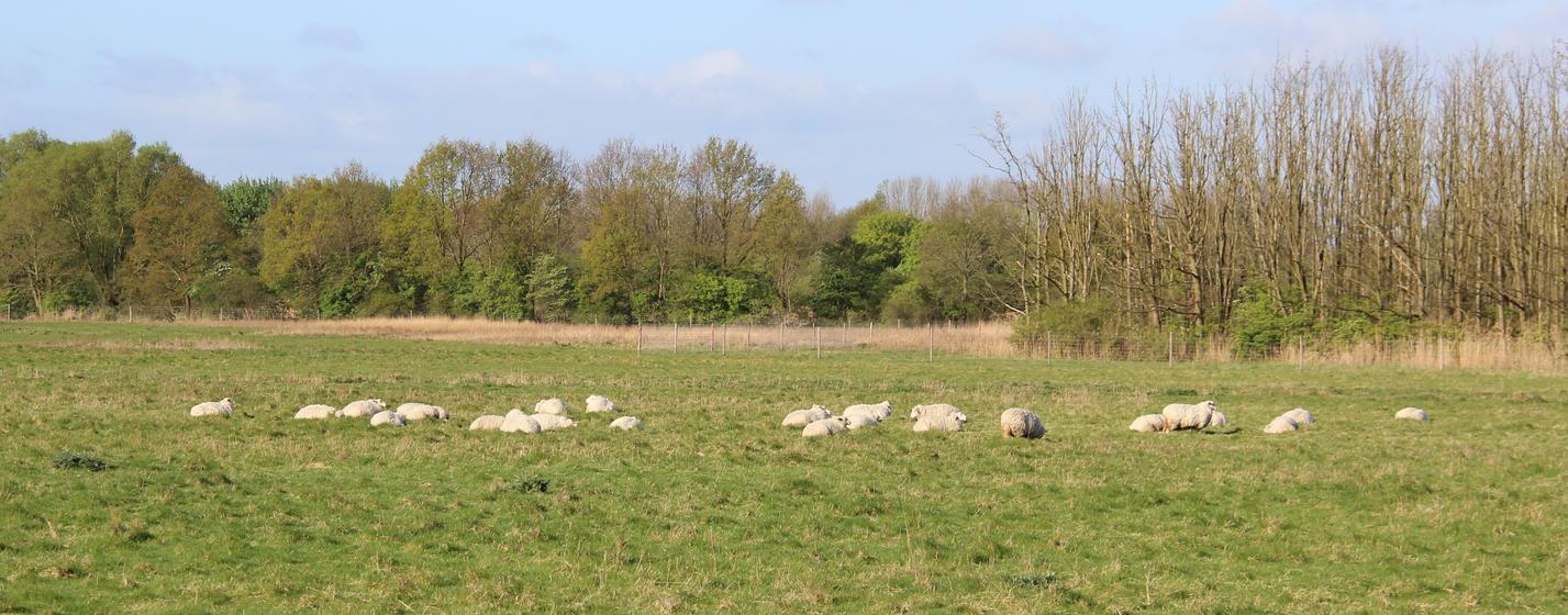 Sheep herd by DinosaurianDude