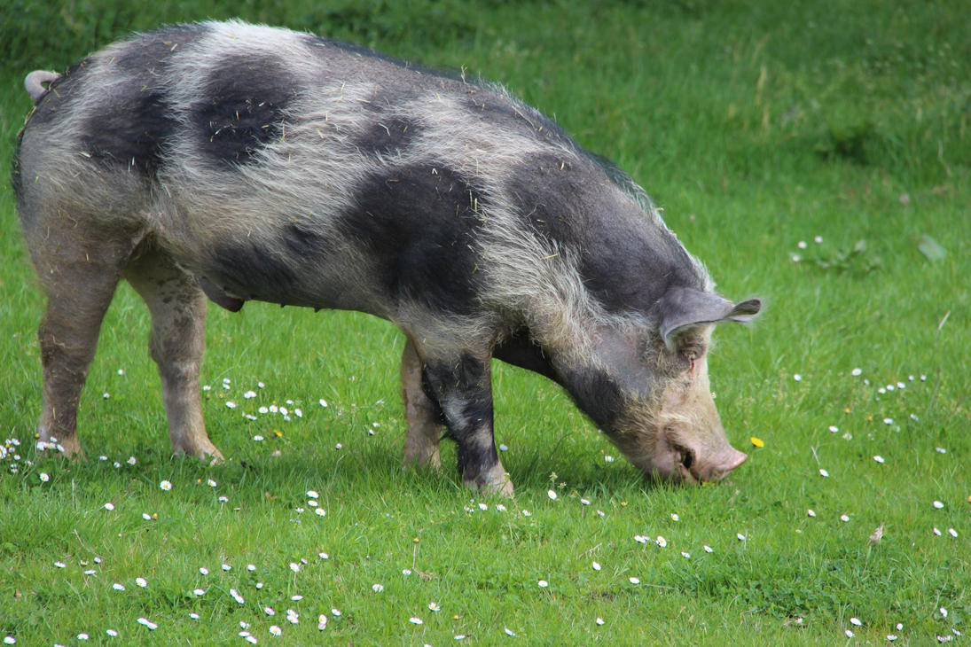 How I like to see pigs by DinosaurianDude