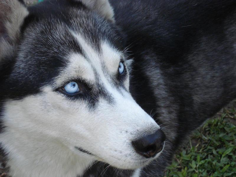 Siberian Husky by vickkk03