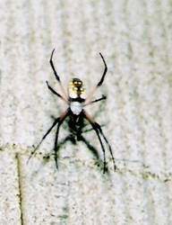 The Zipper Spider