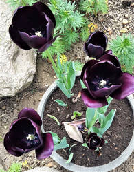 Black Tulips by Supach