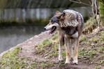 Wolf 02 Stock