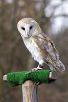 Owl 02 Stock
