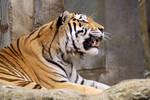 Tiger 01 Stock