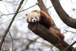 Red Panda 02 Stock