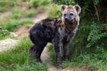 Hyena 03 Stock