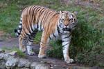 Tiger 04 Stock
